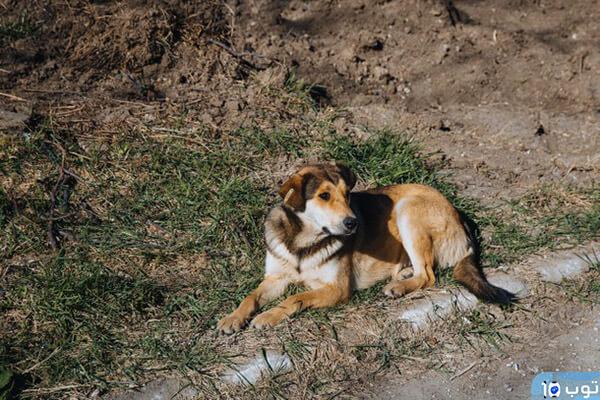 تفسير رؤية الكلاب في المنام للعزباء